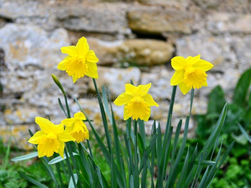 黄水仙花在春天 库存图片