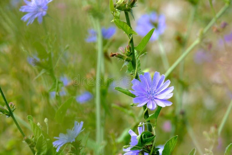 花在鲜绿色的植被背景的植物苦苣生茯在一个夏日 库存照片