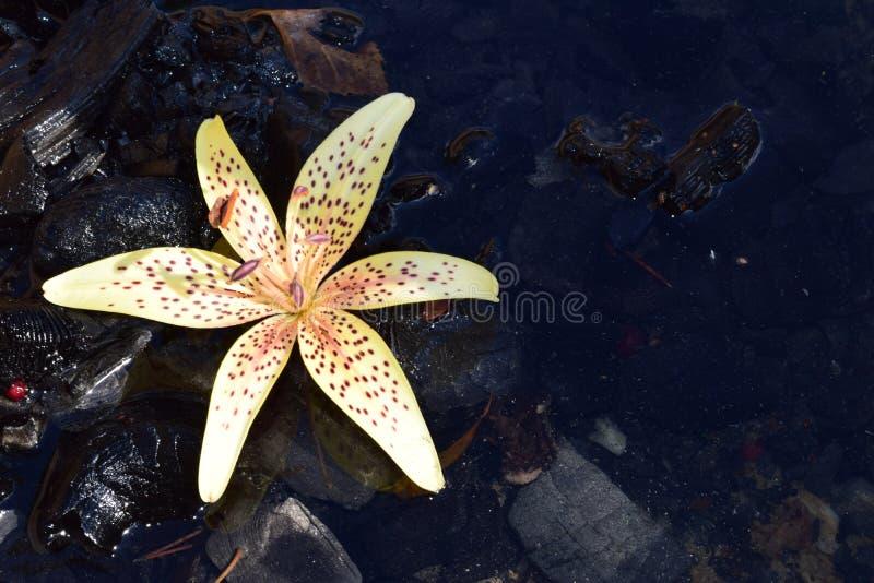 花在水中 库存照片