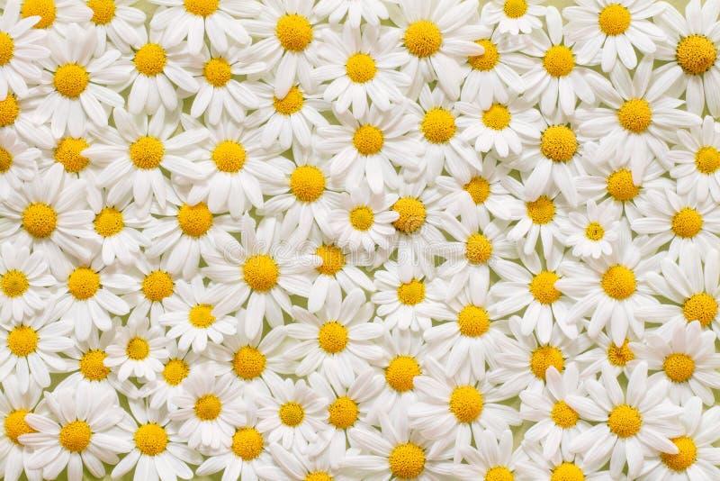 花地毯美丽的戴西延命菊背景的 免版税图库摄影