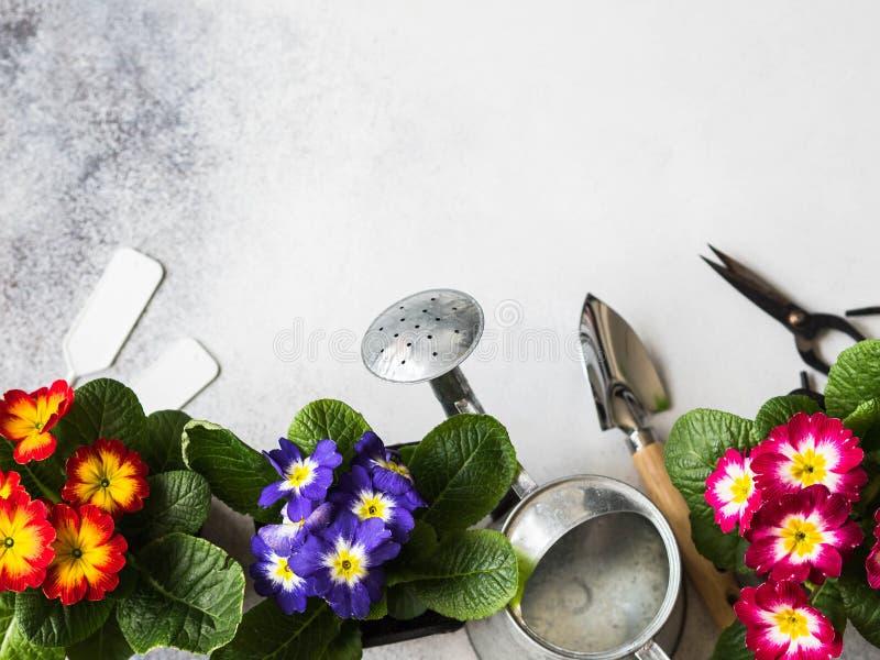 花多彩多姿的报春花和各种各样的园艺工具幼木在灰色背景 庭院概念 顶视图 复制空间 库存照片