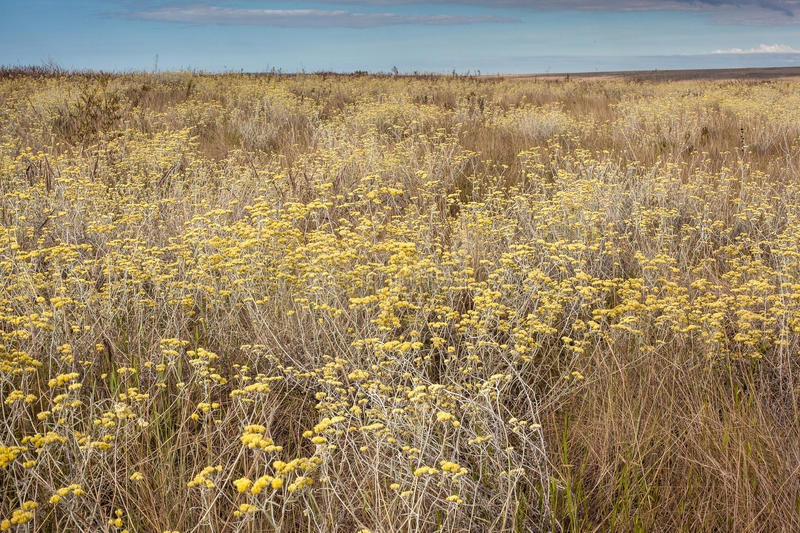 花大量在cerrado生物群系的 Serra da nat的Canastra 免版税图库摄影