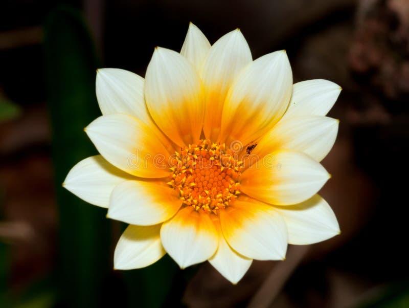 花宏观橙色白色 免版税库存图片