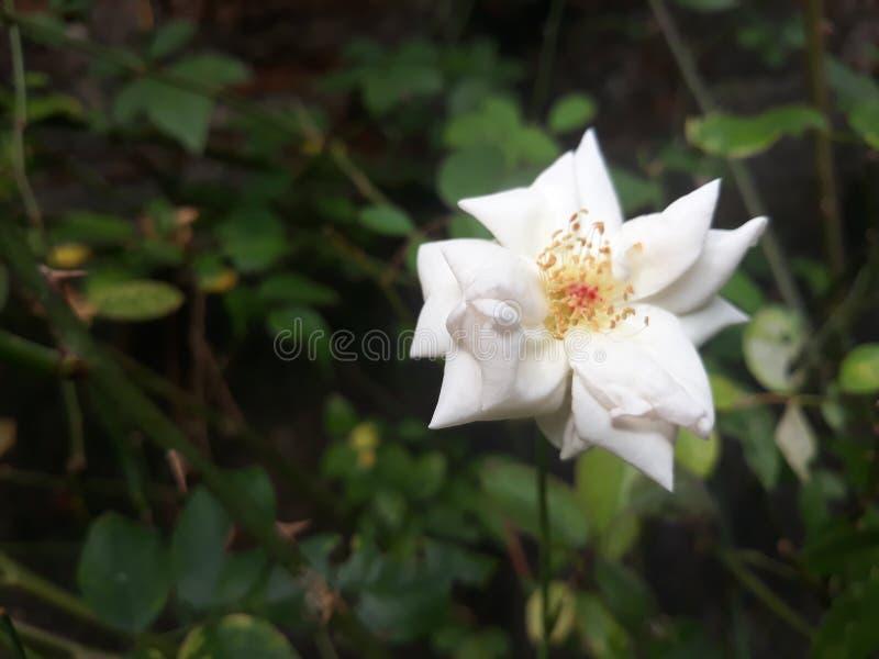 花宏观瓣照片雌蕊玫瑰色雄芯花蕊超级白色 库存图片
