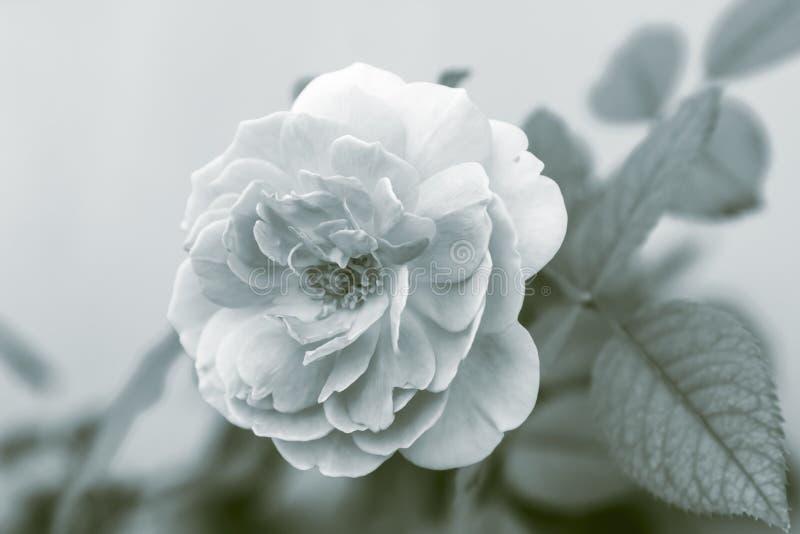 花宏观瓣照片雌蕊玫瑰色雄芯花蕊超级白色 免版税图库摄影