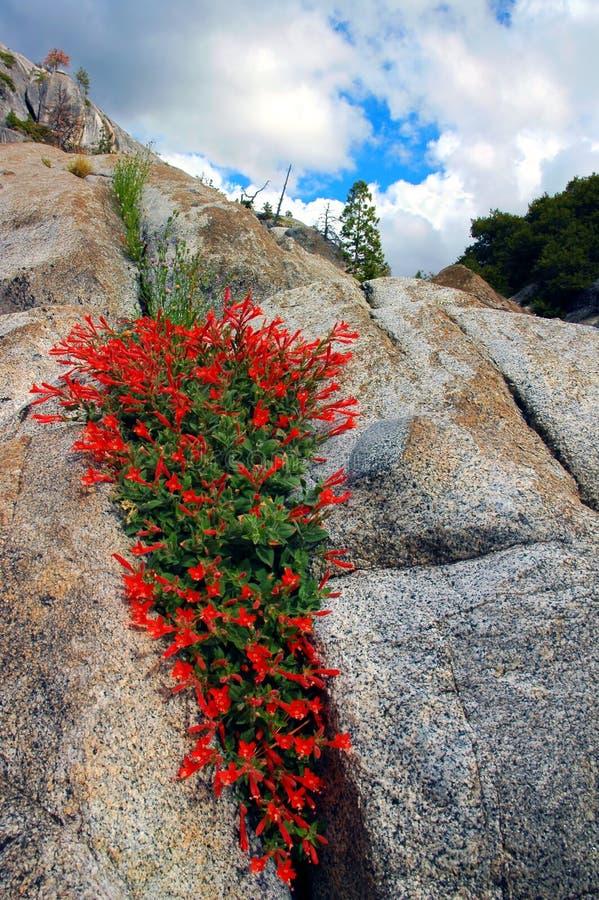 花岗岩红色野花 库存照片