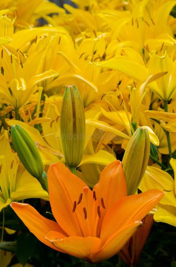 花床开花的黄色百合 图库摄影