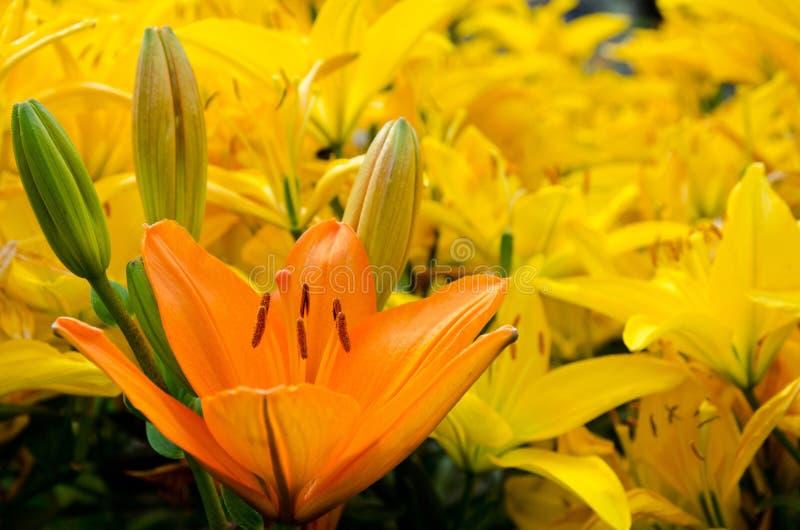 花床开花的黄色百合 库存图片