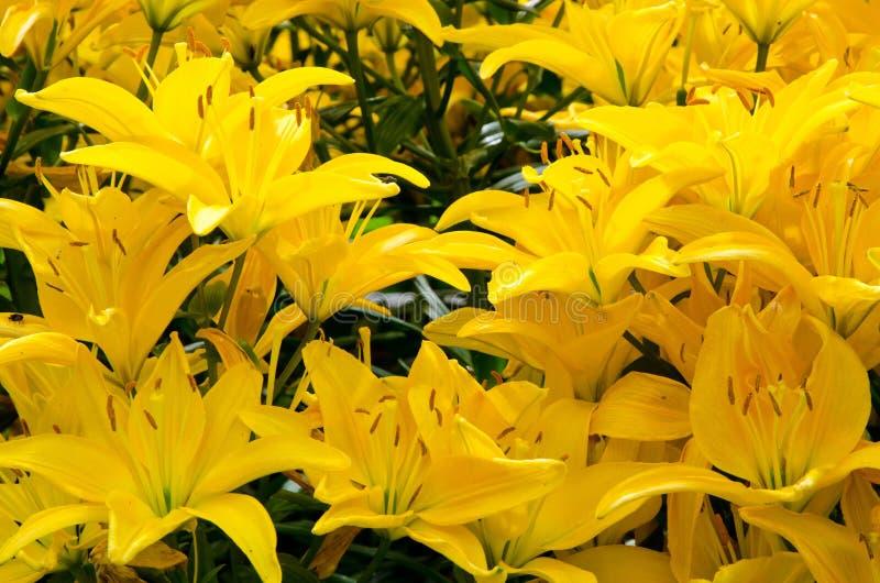 花床开花的黄色百合 免版税库存照片