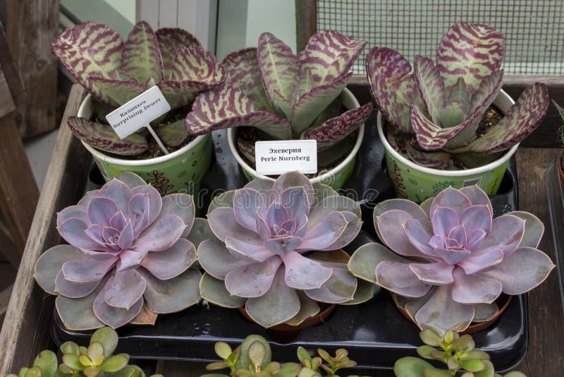 花店窗口,多汁植物射击Echeveria珀尔Nurnberg和在小罐的Kalanchoe惊奇的点心待售 免版税库存照片