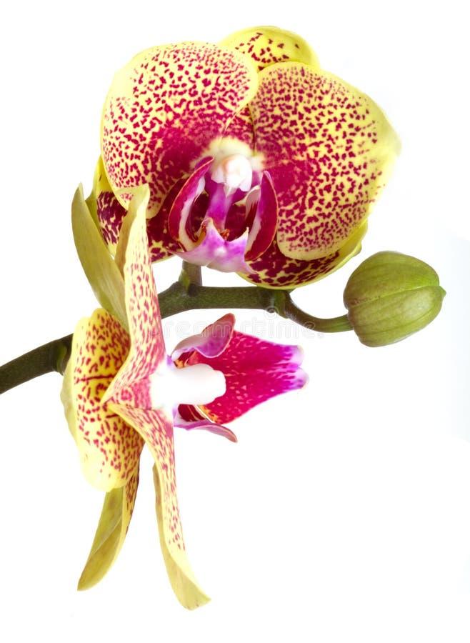 花开花兰花兰花兰花植物 免版税库存照片