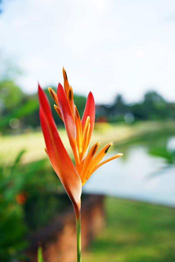 花开花在后院庭院的天堂鸟 免版税图库摄影