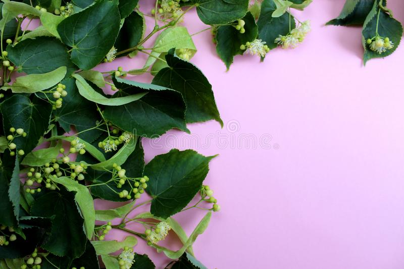 花开花的树菩提树木头,用于愈合茶的准备, 免版税库存图片