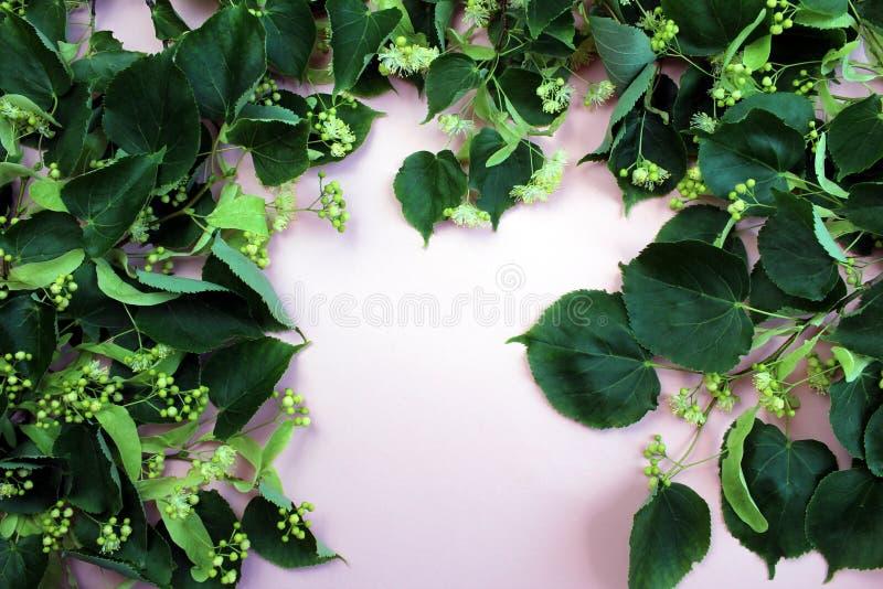 花开花的树菩提树木头,用于愈合茶的准备 免版税库存照片