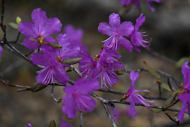 花开花的紫色 免版税图库摄影