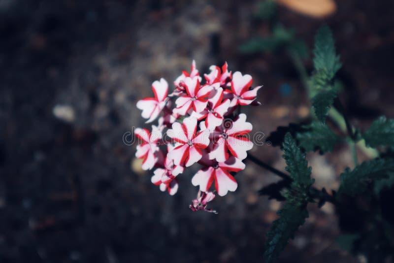 花开花的野花的美好的红色和白色背景关闭 免版税库存照片