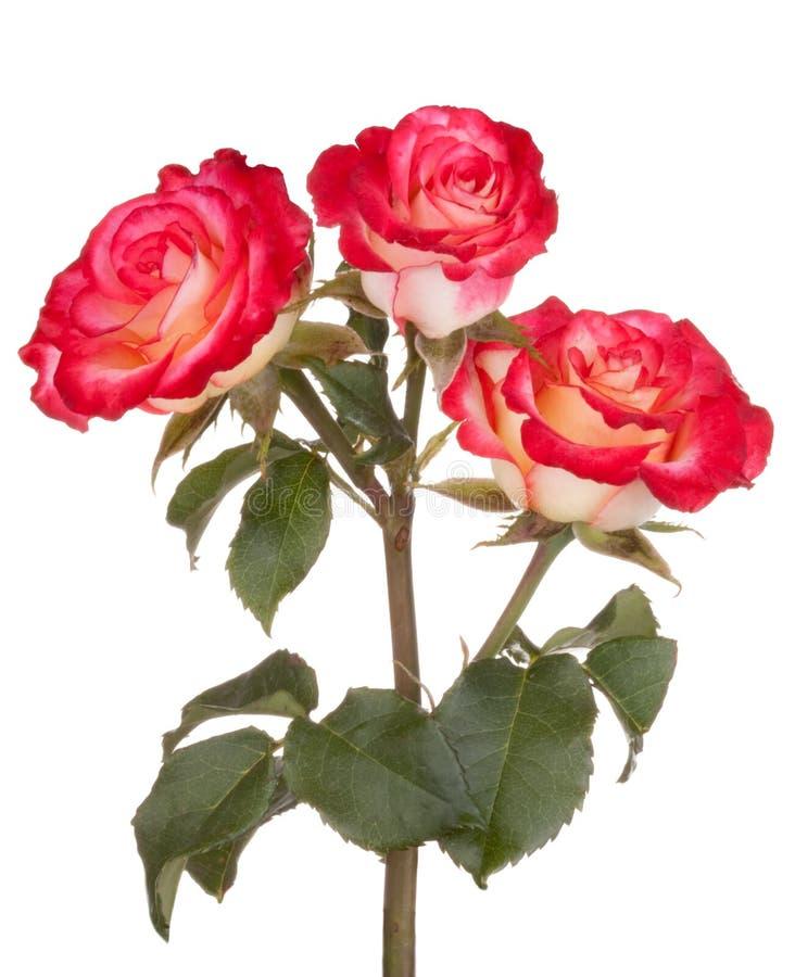 花开花红色玫瑰色玫瑰 免版税库存照片