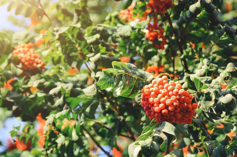 花揪山梨aucuparia分支用红色莓果 自然秋天背景 图库摄影