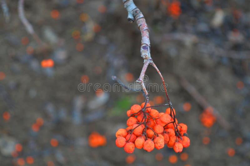 花揪的微小的枝杈 免版税库存图片