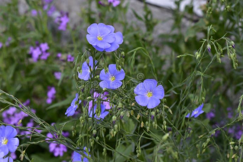 花晚樱草和蓝色胡麻 库存照片