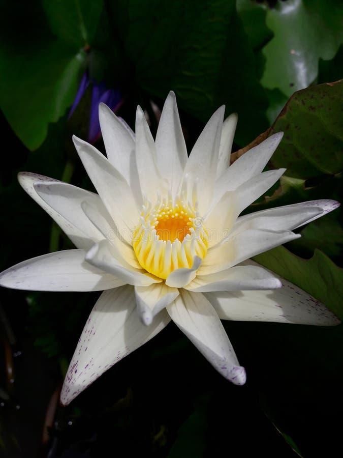 花有空白i莲花被绘的照片的水彩 库存图片