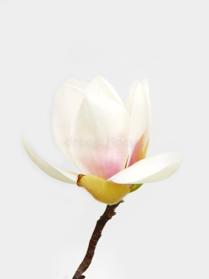 花木兰白色 免版税库存照片