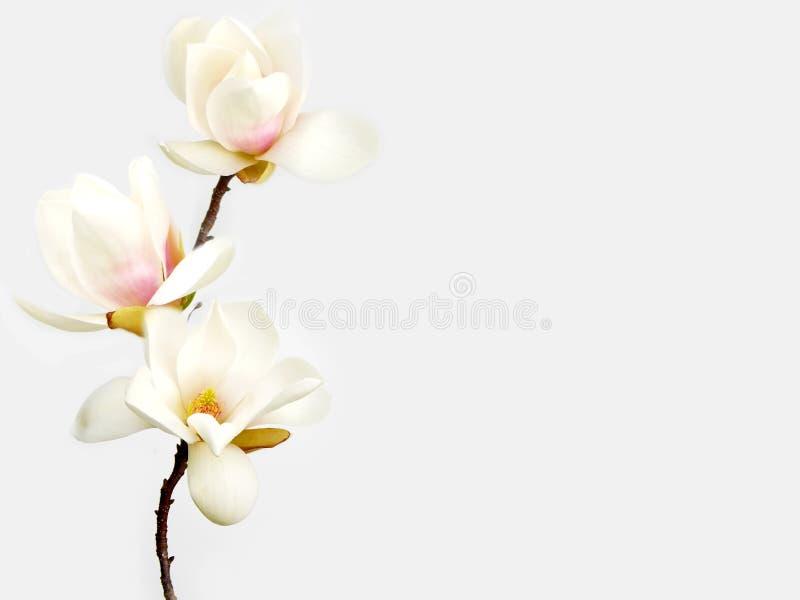 花木兰白色 免版税图库摄影