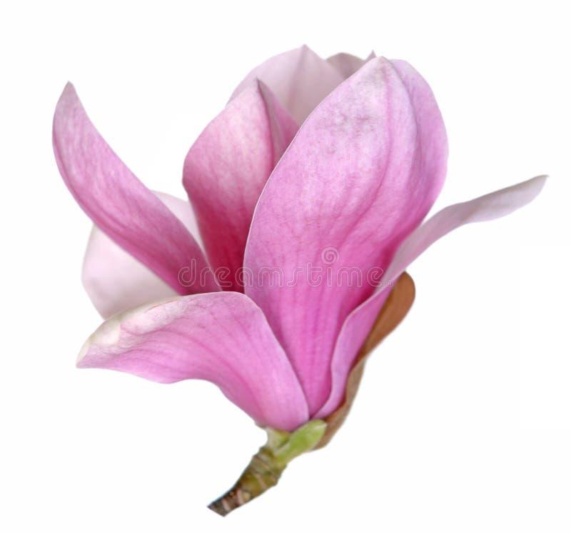 花木兰粉红色 免版税图库摄影