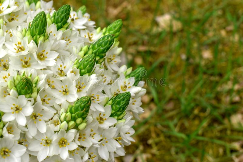 花束美丽的白色snowdrops万年青 图库摄影