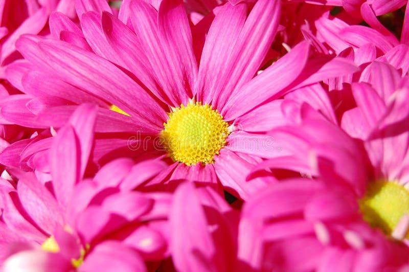 花束雏菊粉红色 免版税库存图片