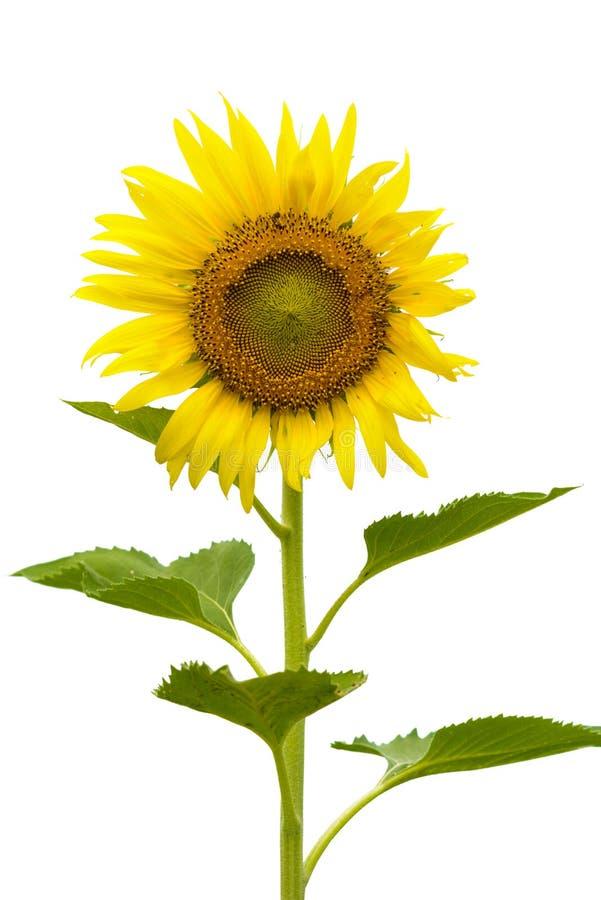 花查出的叶子词根向日葵空白黄色 图库摄影
