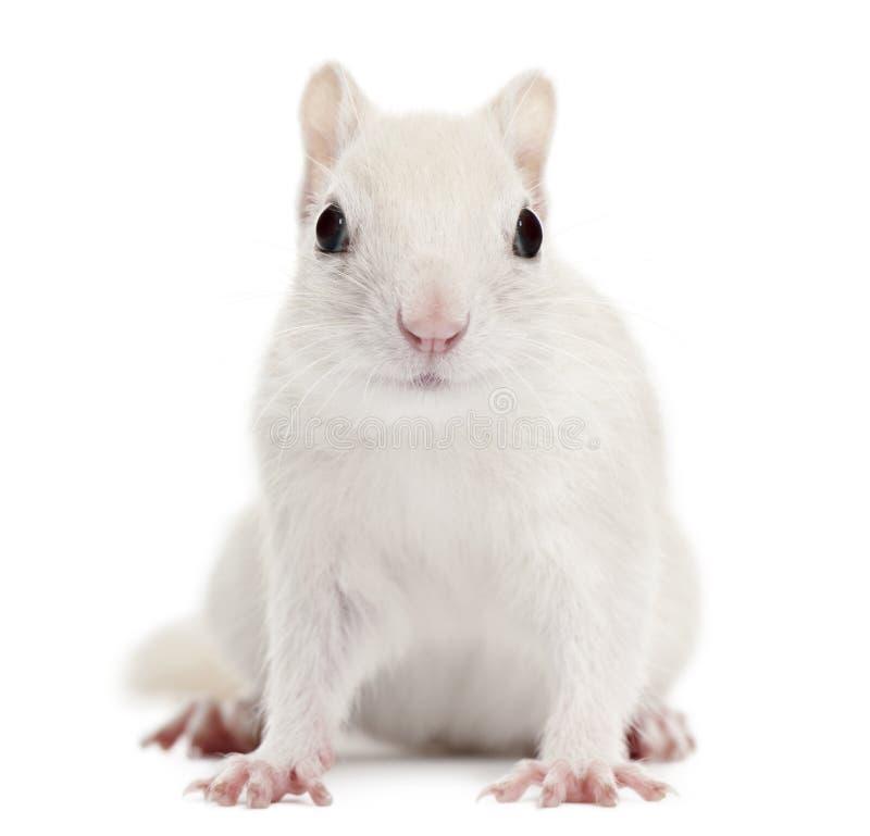 2花栗鼠东部老striatus花栗鼠类年 免版税库存照片