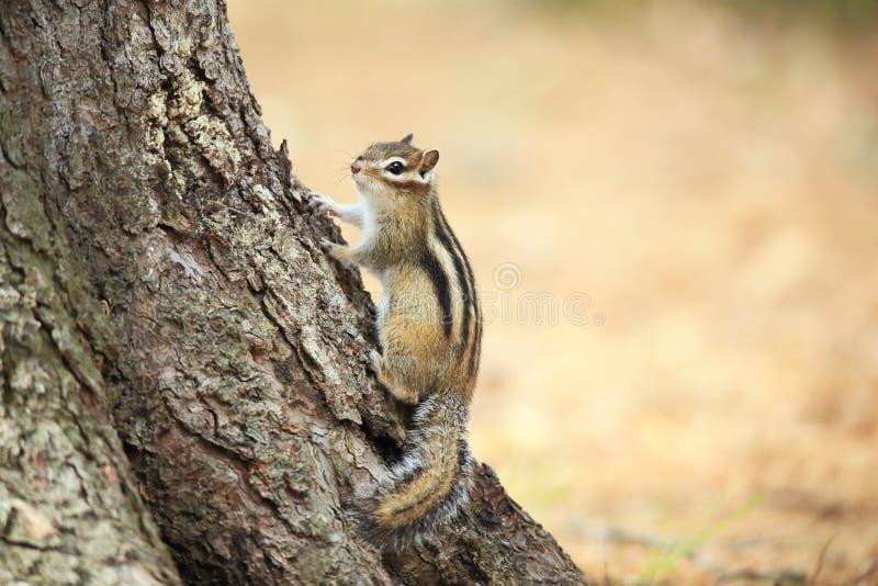 花栗鼠在树附近坐 免版税库存照片