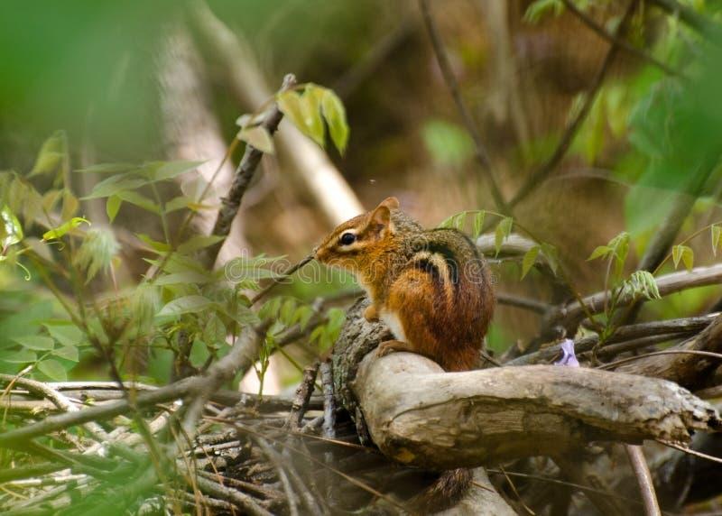 花栗鼠在森林里 图库摄影