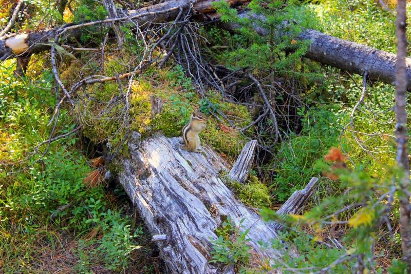 花栗鼠在森林 免版税库存图片