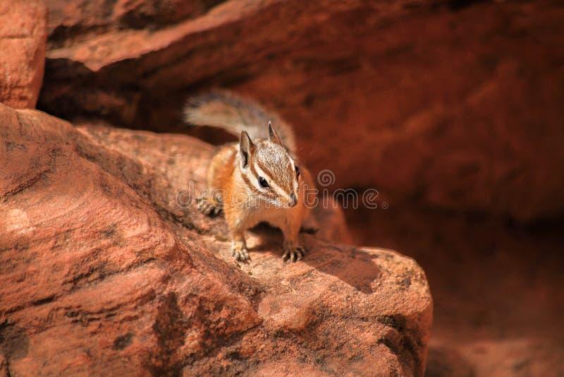花栗鼠在锡安 免版税库存图片