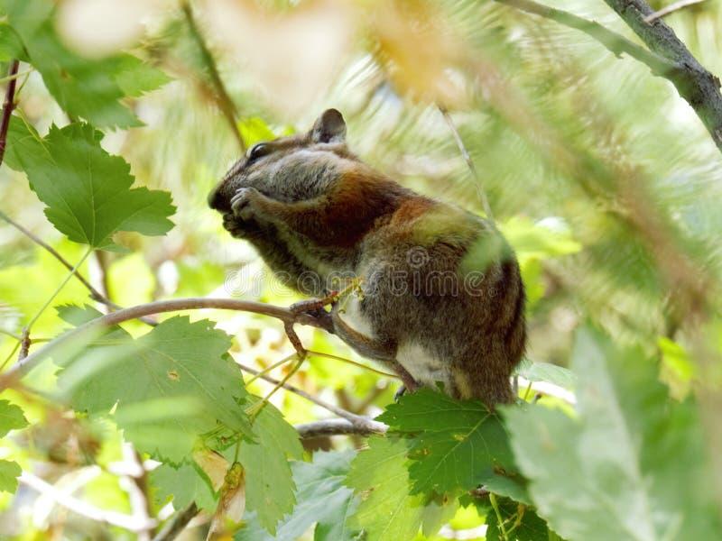 花栗鼠在洛矶山国家公园科罗拉多发现食物 库存图片