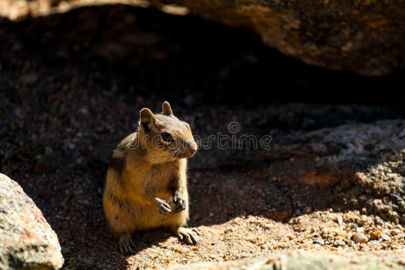 花栗鼠在洛矶山国家公园 库存照片
