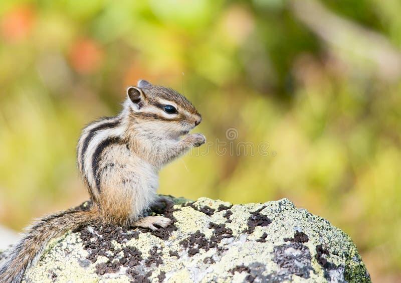 花栗鼠西伯利亚sibiricus花栗鼠类 库存图片