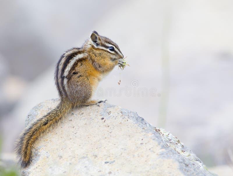 Download 花栗鼠 库存图片. 图片 包括有 有选择性, 重点, 逗人喜爱, 花栗鼠, 户外, 毛皮, 黄石, 水平 - 72357687