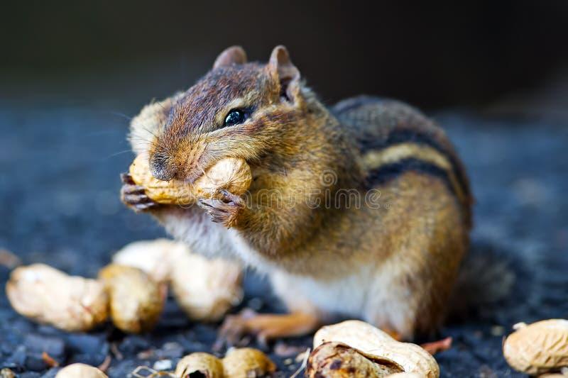 花栗鼠earing的花生 图库摄影