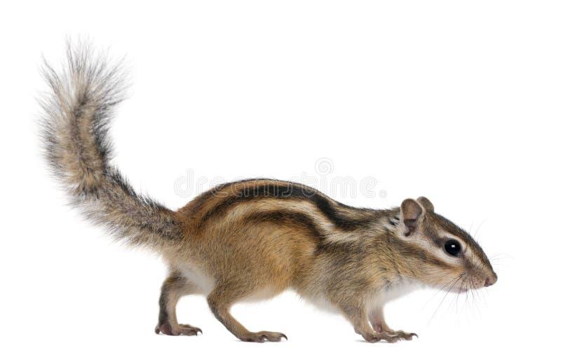 花栗鼠euamias西伯利亚sibiricus走 免版税图库摄影