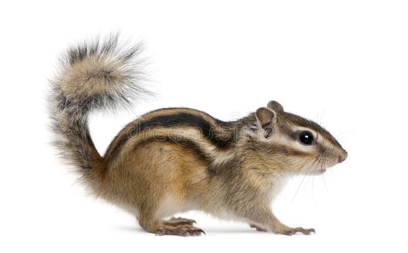 花栗鼠euamias西伯利亚sibiricus身分 免版税库存照片