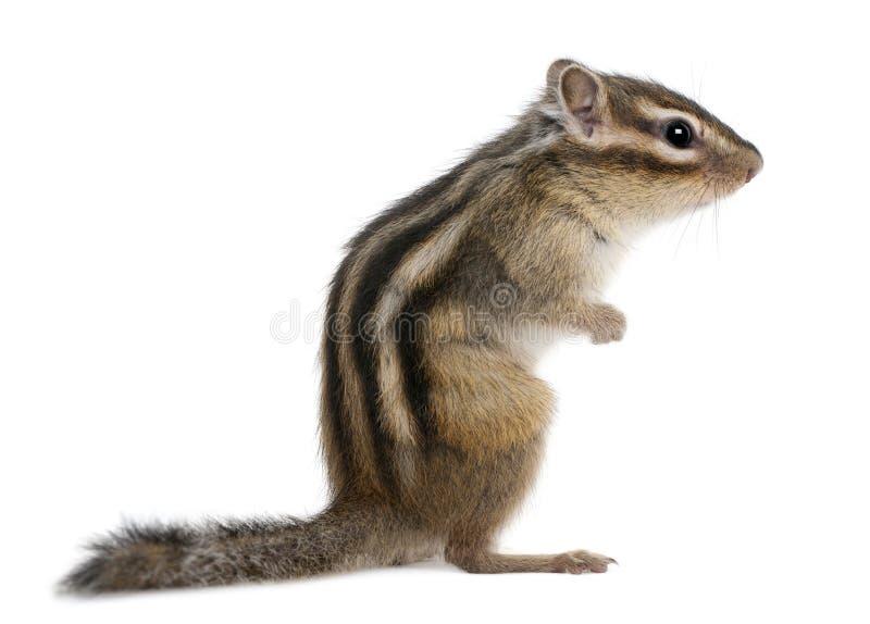 花栗鼠euamias西伯利亚sibiricus身分 免版税库存图片