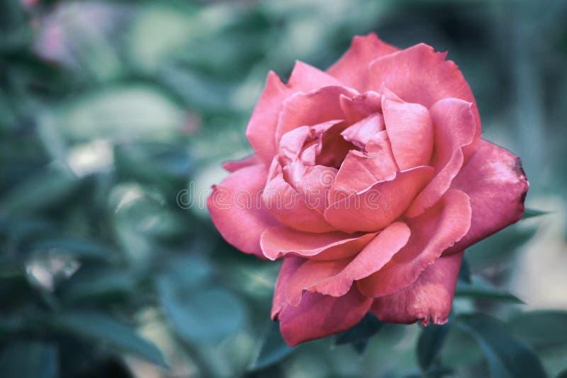 花桃红色上升了自然宏观特写镜头瓣花卉细节画象户外庭院 免版税库存图片