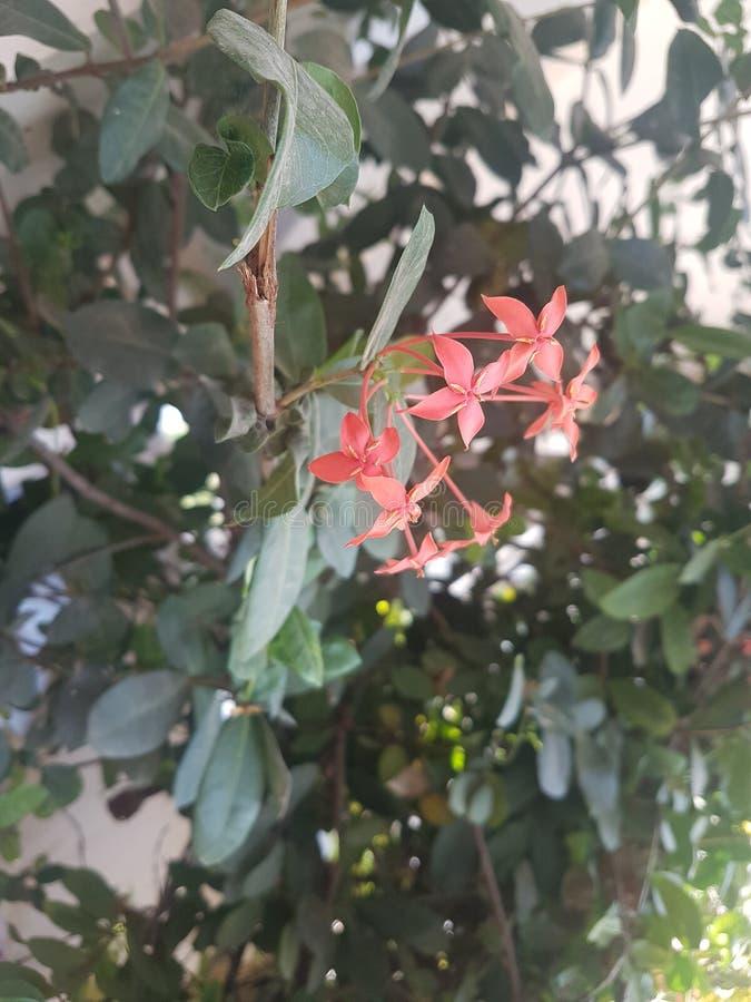 花桃红色小 库存照片