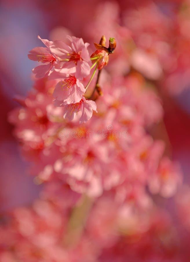 花桃红色春天 库存照片