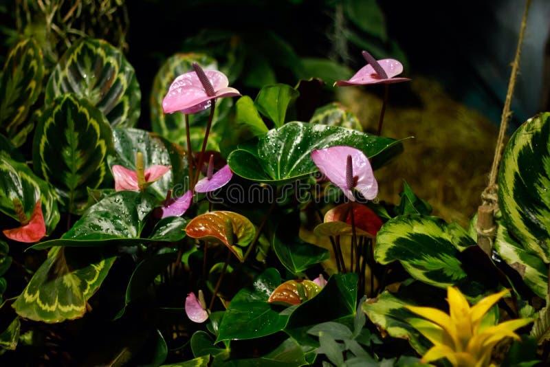 花桃红色热带 库存图片