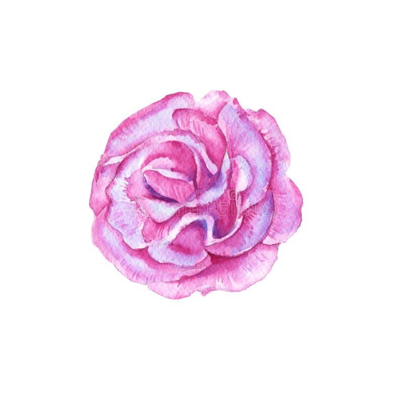 花桃红色牡丹 背景查出的白色 向量例证