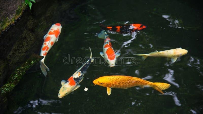 花梢鲤鱼或koi鱼 免版税库存照片